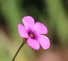 An Oxalis Spring! by aprilann