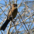 Juvenile Grackle, thanks, Ted by Margaret  Shark