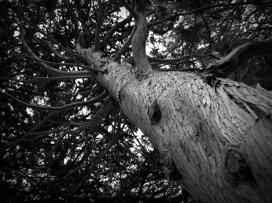 Scary Tree- Echunga by Ben Loveday