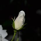 White Rose Bud by Paul Halley