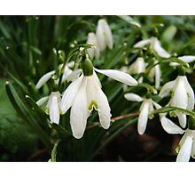 SNOWDROPS ART/ CARDS/ PHONE CASE Photographic Print