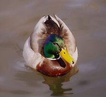 Mallard in winter by srosu
