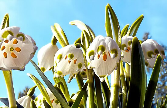 Hear the Bells? (Leucojum vernum) by globeboater