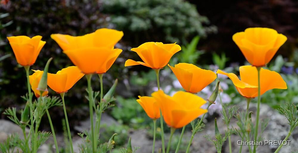 Orange poppies by DebbyScott
