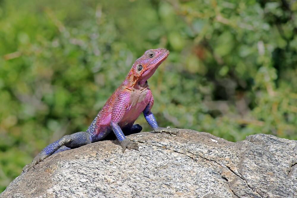 Agama Lizard by TonyKRO