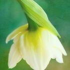 Demure Daffodil by Anita  Pollak