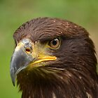 Eagle by Steve Green
