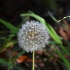 dandelion by Paul Halley