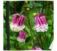 Pink Columbines Poster