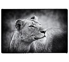 Lioness In Wait Photographic Print
