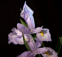Double Iris Beauty by Deborah McLain