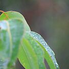 morning dew  by lilli robertson