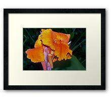 Orange Canna Lily Blossom Framed Print