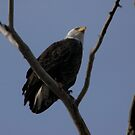American Bald Eagle  by teresalynwillis