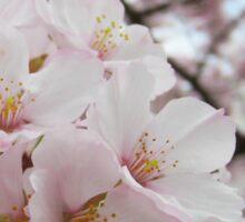 Cherry Blossoms 13 Sticker