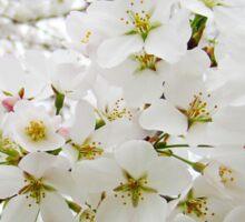 Cherry Blossoms 12 Sticker