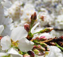 Cherry Blossoms 11 Sticker