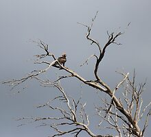 wedge tailed eagle in tree - the victor! by gaylene