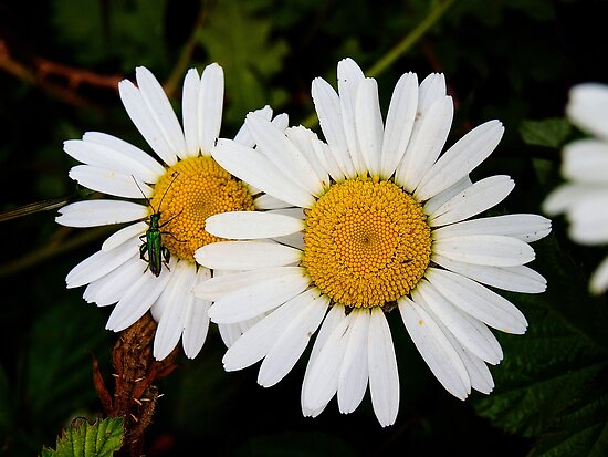 Daisies with Beetle by Ludwig Wagner