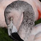 Flamingo Portrait by fruitbat111