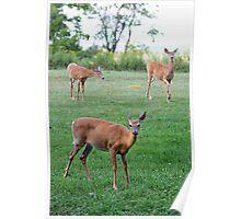 Muskoka Deer Poster