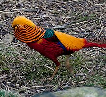 Golden Pheasant by Andicurrie
