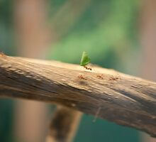 Leaf cutter Ant by Andicurrie