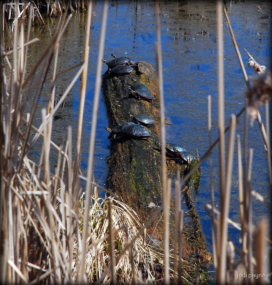 Ten Turtles Sunning by jodi payne