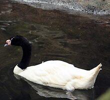 Black Swan by Jennifer Totten