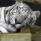 White Tiger Sleeping by Jennifer Totten
