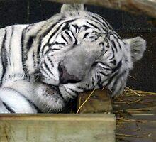 White Tiger Sleeping by Jennifer Totten