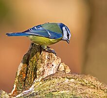 Blue Tit II by LouiseMorris08