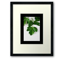 Petroselinum Crispum - Fresh Garden Parsley Framed Print
