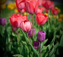 Tulip #2 by Mike O'Brien