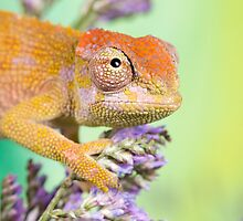 dwarf fishers chameleon by AngiNelson