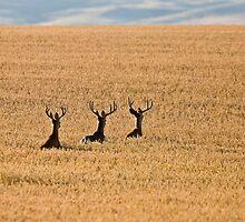 Mule Deer in Wheat Field by pictureguy