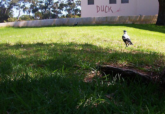 Stalking Magpies - Big Men Don't Duck - 17 03 13 by Robert Phillips
