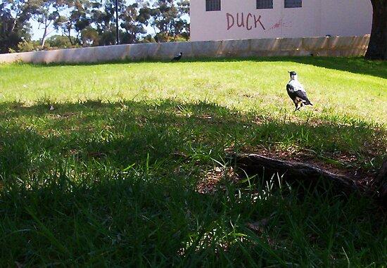Stalking Magpies - Big Men Don't Duck - 17 03 13 by Robert Phillips