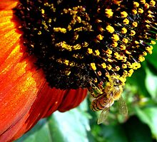 Bee on Sunflower by RainyDayPoetry