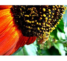 Bee on Sunflower Photographic Print