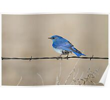Mountain Bluebird: Fence Line Poster