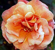 Tangerine rose by ♥⊱ B. Randi Bailey