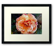 Tangerine rose Framed Print