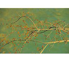 Spice Bush Photographic Print