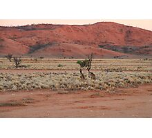 Two Kangaroos Photographic Print