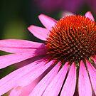 Pink Echinacea Flower by John Dalkin