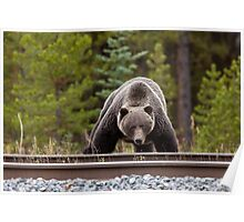 Wild Grizzly Bear near Lake Louise Alberta Canada Poster