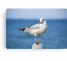 Coquettish little sea-gull Canvas Print
