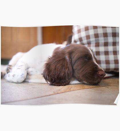 Sleeping Springer Poster