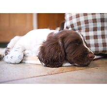 Sleeping Springer Photographic Print